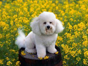 Bichon Frise among yellow flowers