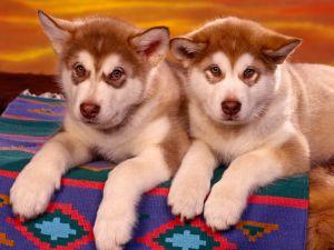 Two little huskies