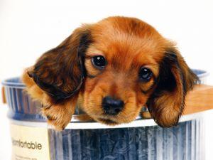 Brown puppy in a bucket