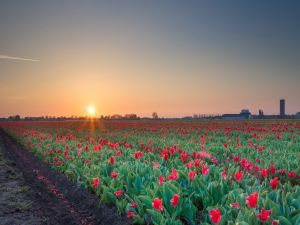 Sunrise in a field of red tulips