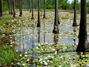 Water lilies and trees in the water
