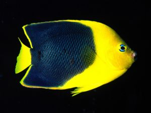 Yellow Angelfish