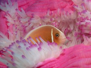 Fish in a pink anemone