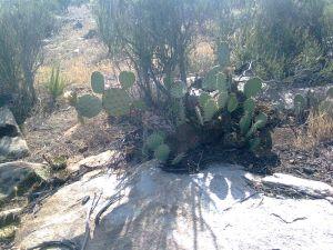 Wild nopal cactus