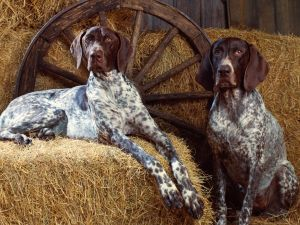 Dogs in the barn