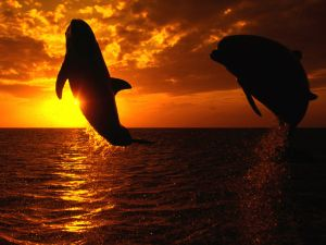 Two dolphins jumping at sunset
