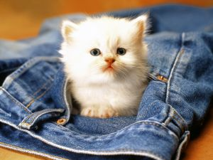 Kitten in the pocket of jeans