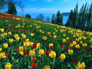 Beautiful field of red and yellow tulips