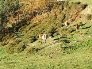 Asturian cows