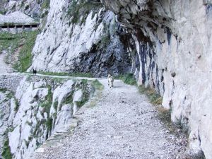 Chamois in the Cares gorge, Asturias