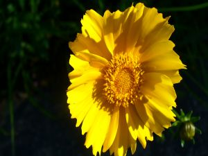 Flower with big yellow petals