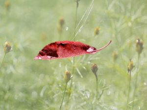 Red leaf with dew drops