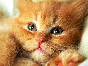 Beautiful brown kitten with big green eyes