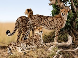 Cheetahs in the African savannah