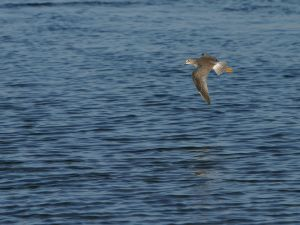Bird of long beak flying over the water