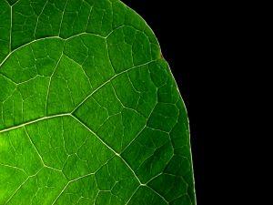 Veins of a green leaf