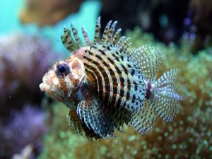 A small lionfish