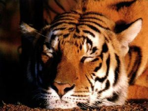 A resting tiger