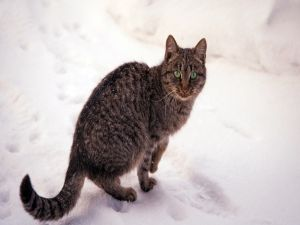 Tabby cat with green eyes over snow