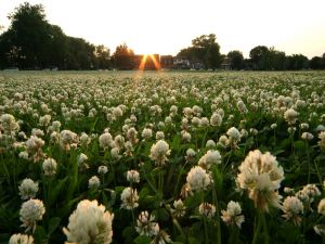 Field of white flowers at dawn