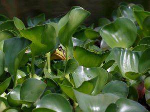 Frog hidden among green leaves