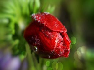 Red tulip covered with water