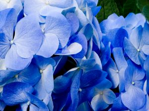 Blue flowers of hydrangea