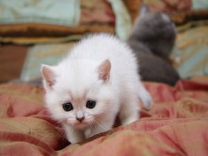 White kitten with black eyes