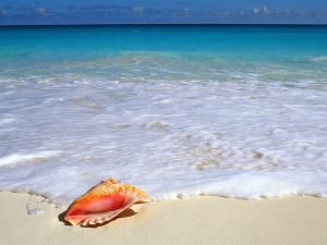 Queen conch on the beach