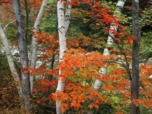 Trees with autumnal leaves