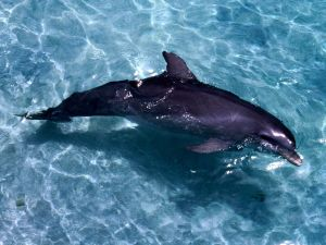 Dolphin in the shallow water