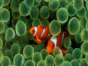 Two clownfish