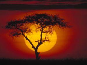 Acacia tree and sun