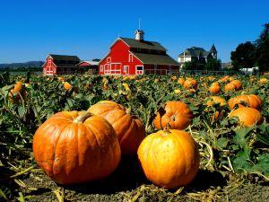 Pumpkins growing on land