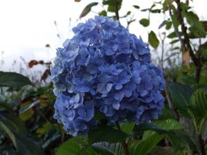 Hydrangea with dew at sunrise