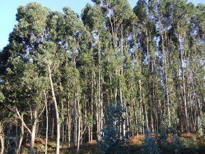 Eucalyptus trees on the Asturian coast