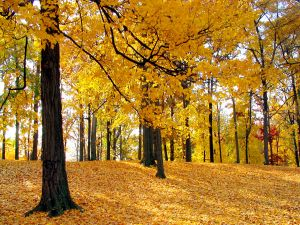 Autumnal leaves in the ground and in the trees