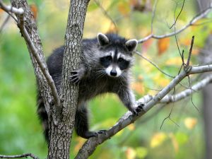 A raccoon looking attentive