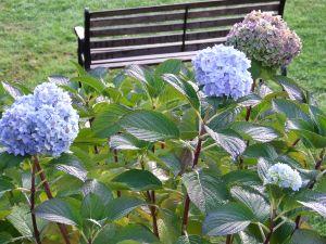 Flowers of hydrangea in the garden