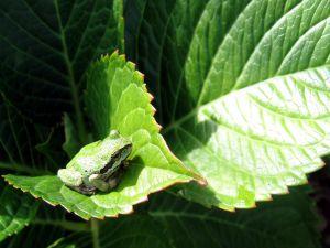Frog over a large green leaf