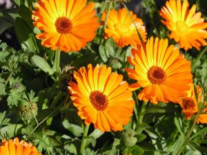 Orange flowers illuminated by the sun