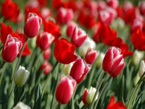 Beautiful white and red tulips