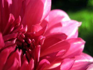 Dahlia of pink petals