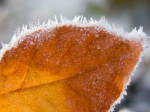 Brown leaf with the edges frosted