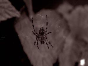 Tarantula on the web