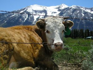 Cow behind the wire
