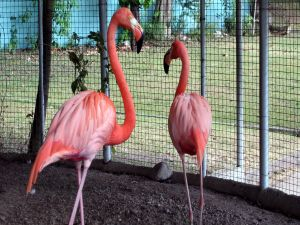 Flamingos in a cage