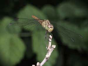 Dragonfly securely fastened at stick