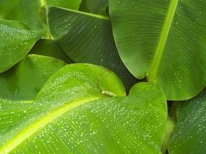 Banana leaves with water drops