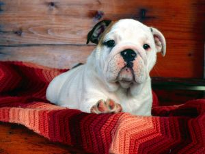 Dog over a nice blanket